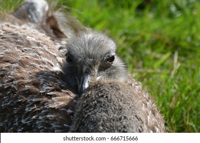 Large rhea bird with gray and brown feathers in the sunshine.