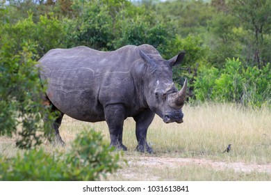 Large rhino with injury near horn