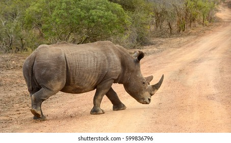 Large Rhinoceros in Kruger National Park in South Africa whose horns are subject to poaching and making the animal endangered.