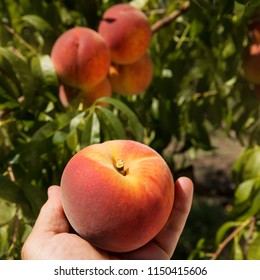 a large ripe peach in a man's hand against the background of other peaches on peach trees