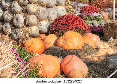 Large ripe pumpkins on straw briquettes among flowers in the garden in autumn