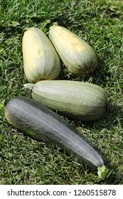 large ripe vegetable marrow on green grass
