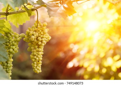 large ripening bunch of white grape on the vine in the summer evening closeup