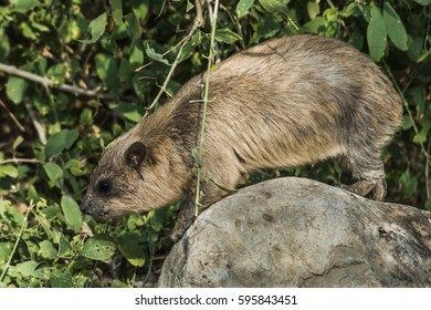 Large rock hyrax on a round stone