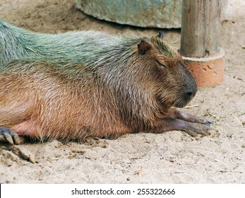 Large Rodent