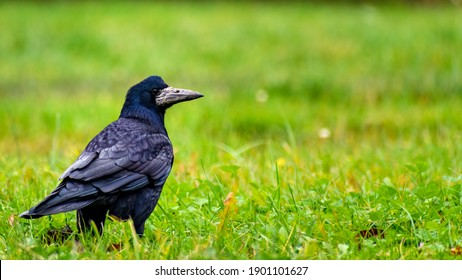 Large rook (Corvus frugilegus) looking for food on green grass of lawn. Birds winter in the suburb next to man houses. Big black bird, one, close up