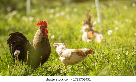 A large rooster stands in the tall grass on a sunny day. Hens in the background