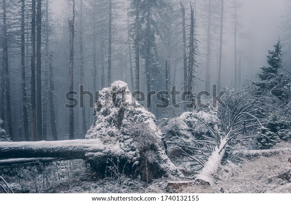 Large root from the fallen winter forest tree in the Harz National Park