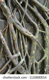 The large roots of a tropical tree have grown over a stone wall. The wall is barely visible. The roots have divided and grown over one another, making an abstract pattern.