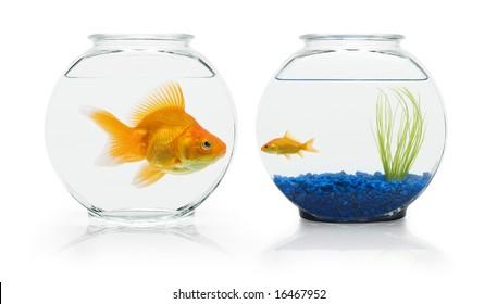 Large ryukin goldfish eyeing small comet-tail goldfish's nicer fish bowl.