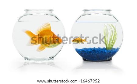 Large Ryukin Goldfish Eyeing Small Comettail Stock Photo Edit Now
