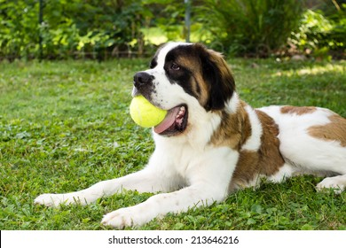 A large saint bernard dog lays in a yard and plays with a tennis ball
