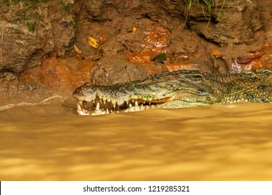 A large Saltwater Crocodile lurking in a muddy brown river in Borneo