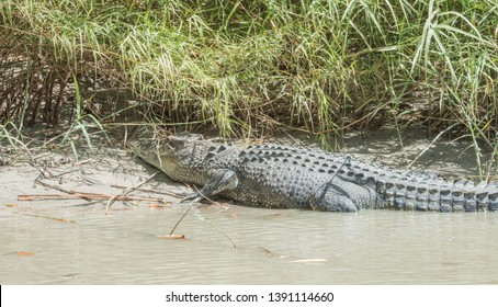 Large saltwater crocodile warming by the riverbank of the Mary River in Kakadu, Australia