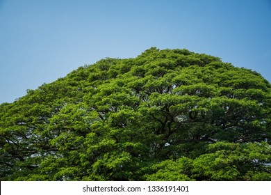 Large Samanea saman tree with branch in Kanchanaburi, Thailand. the big tree in thailand.