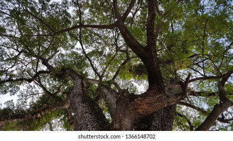 Large Samanea saman tree with branch