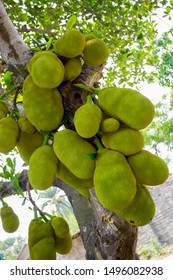 A large scale of jackfruits hanging on the tree. Jackfruit is the national fruit of Bangladesh. It is a seasonal summer time fruit.