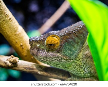 Large Scaled Forrest Lizard