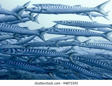 Large School of Barracudas, Secca della Colombara, Ustica, Sicily, Italy
