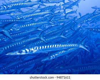 Large School of Barracudas, Ustica, Sicily, Italy
