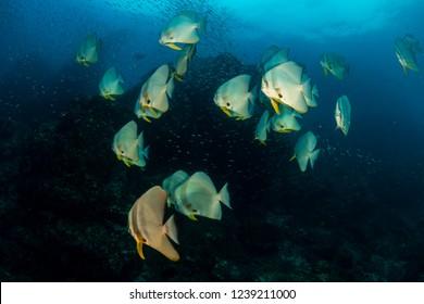 A large school of Batfish on Richelieu Rock, Thailand