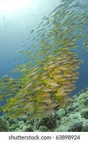 Large school of bright yellow fish gather over a coral reef