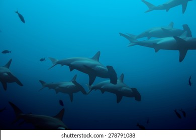Large school of hammerhead sharks swimming in the deep blue waters of the ocean