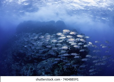 """Large school of jack fish swimming at the dive site called """"Dirty Rock"""", Cocos Island, Costa Rica."""