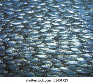 a large school of ox-eye scad fish swimming together, underwater.