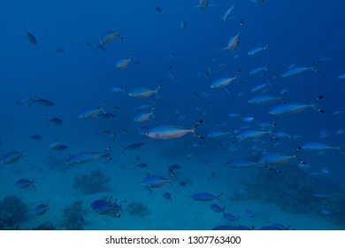Large school of Red Sea Fusilier fishes in the bay of Abu Dabbab in Egypt