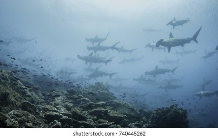 Large school of scalloped hammerhead sharks swimming, Darwin Island, Galapagos Islands, Ecuador.