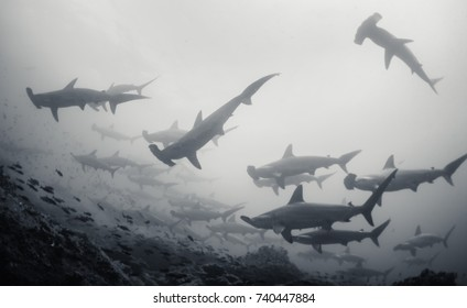 Large school of scalloped hammerhead sharks swimming, Darwin Island, Galapagos Islands, Ecuador.