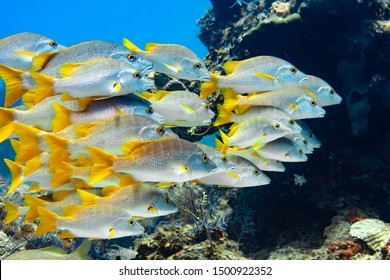 Large school of Schoolmaster Snapper in the crystal clear waters of the Turks and Caicos islands.
