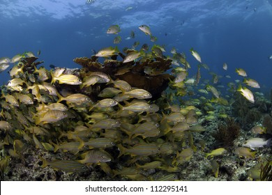 Large school of snapper fish swimming through Elkhorn Coral with a blue water back ground in Key Largo, florida