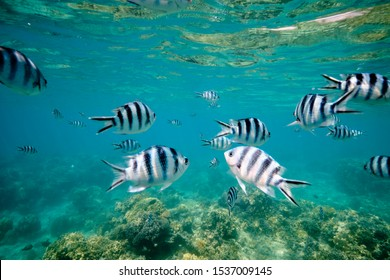 Large school of tropical scissor tail sergeant fish feeding in tropical waters of Fiji