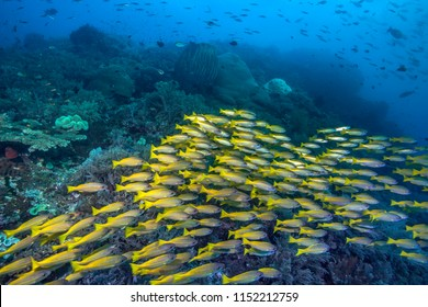A large school of Yellowtail snappers streams across a coral reef in Raja Ampat, Indonesia.