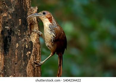 Large Scimitar Babbler in nature, Birds of Thailand: Siam ...
