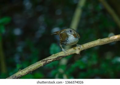 Large Scimitar Babbler ( Pomatorhinus hypoleucos ) on the branch in nature, Thailand