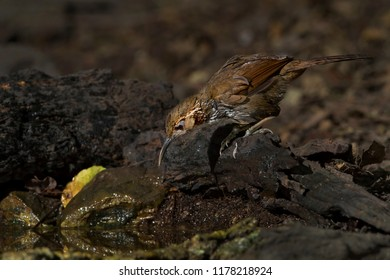 Large scimitar-babbler in the nature.