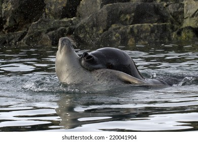 large sea leopard seal who grabbed the neck of a young crabeater seal