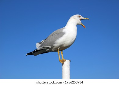 Large seagull with an open beak against blue sky, beautiful seabird stands on pole and shouts