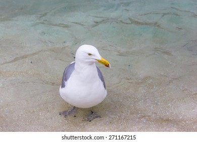 Large Seagull Standing in Clear Blue Water