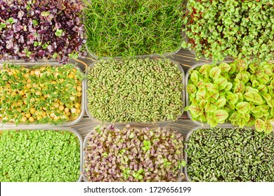 Large selection of different microgreens. Photography from above, boxes with sprouts of young herbs of sorrel, radish, mustard, basil. Unusual background.
