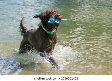 Large shaggy brown dog playing fetch in the water