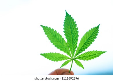 Large sheet of cannabis, marijuana close-up on blurred background. Copy space. Concept of growing hemp