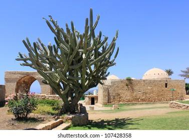 large shrub cactus into the national park Achziv, Israel