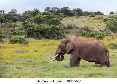 Large single African elephant feeding on a grass plain (Loxdonta) in South Africa