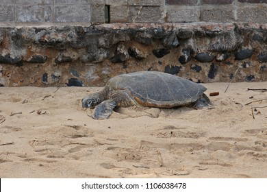 A large, single Green sea turtle, Chelonia mydas, basking in the sand at Paia Bay, Maui, USA at the beginning of the road to Hana
