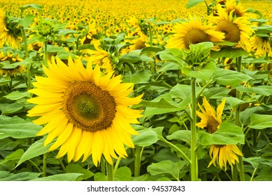 A large single sunflower in front of a field of sunflowers