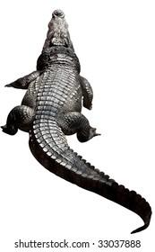 Large size crocodile resting.
